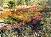 Bunte Wildblumenwiese in Westaustralien